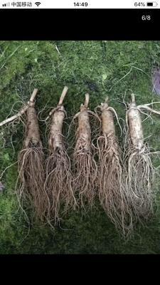 这是一张关于园参 鲜参 整根 散装的产品图片