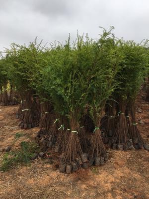 这是一张关于南方红豆杉 1~1.5米的产品图片