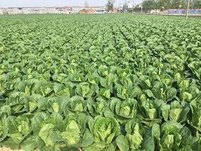 这是一张关于黄心大白菜 3~6斤 净菜 无溃烂 适合长途运输的产品图片