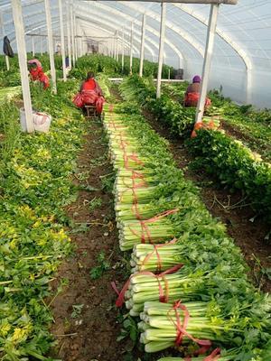 这是一张关于西芹 60cm以上 2.0~2.5斤 大棚种植的产品图片