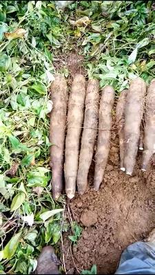 广西壮族自治区柳州市鱼峰区黑鬼薯 50~70cm