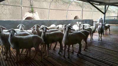 这是一张关于小尾寒羊 30-50斤的产品图片