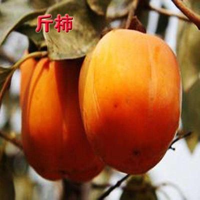 这是一张关于日本斤柿子树苗的产品图片