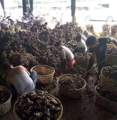 这是一张关于湛江牡蛎 人工殖养 6两以上/只  的产品图片