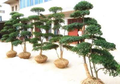 江苏省宿迁市沭阳县小叶女贞造型树