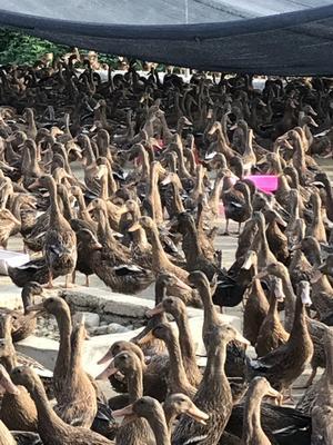 贵州省黔东南苗族侗族自治州三穗县金定鸭 2-3斤 母 半圈养半散养