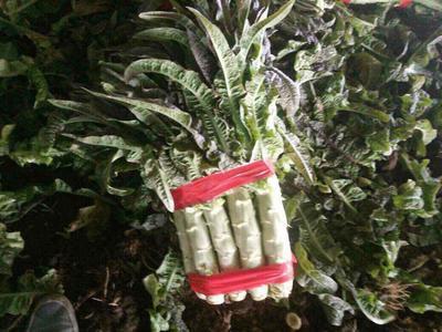 这是一张关于红尖叶莴苣 1.5~2.0斤 28~40cm的产品图片