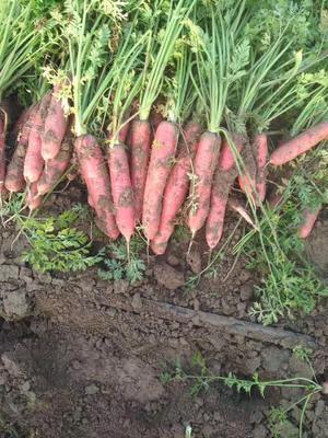 这是一张关于秤杆红萝卜 15cm以上的产品图片