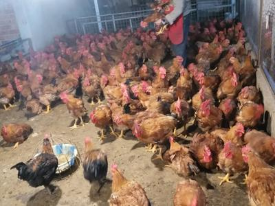 重庆渝中区鸡肉类 新鲜