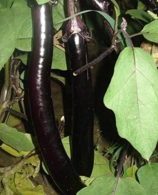 这是一张关于紫长茄 20~30cm 长茄的产品图片