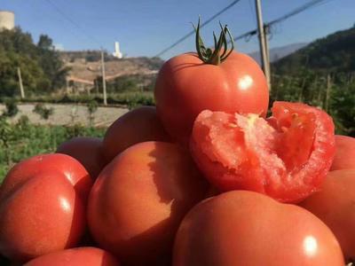 四川省攀枝花市米易县硬粉番茄 精品 弧二以上 大红