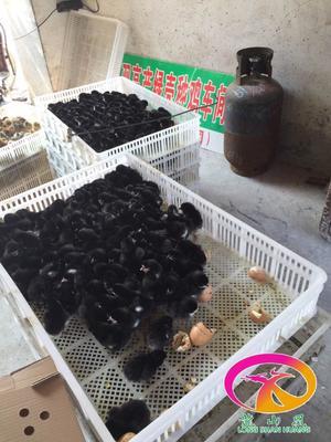 这是一张关于绿壳蛋鸡 2斤以下 统货 广东绿壳蛋鸡苗供应商的产品图片