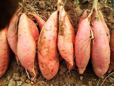 山东省日照市东港区烟薯25 3两~6两 红皮