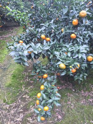 这是一张关于清香蜜桔 5 - 5.5cm 1 - 1.5两的产品图片