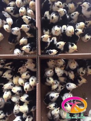 这是一张关于贵妃鸡苗 贵妇鸡苗大量供应中的产品图片