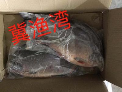 河北省唐山市乐亭县红鲳鱼 野生 1.5-2.5公斤