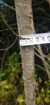 云南省怒江傈僳族自治州泸水县南方红豆杉 1.5~2米