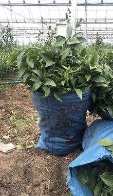 这是一张关于大叶尾张柑桔苗 的产品图片
