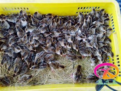 这是一张关于珍珠鸡苗 广东龍山凰禽业供应中的产品图片