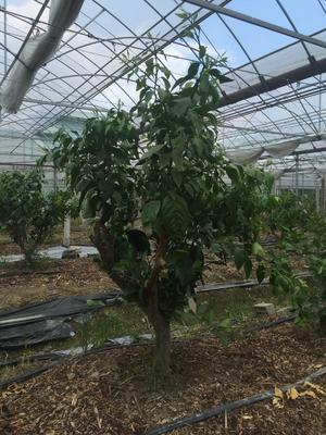 这是一张关于红美人柑桔苗 的产品图片