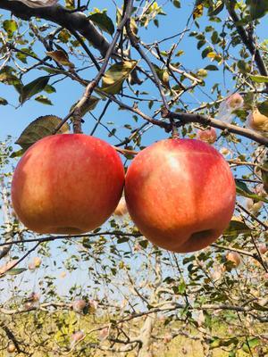 山西省运城市永济市红富士苹果 80mm以上 条红 膜袋