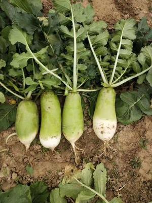 湖北省天门市天门市青皮绿萝卜 1~1.5斤