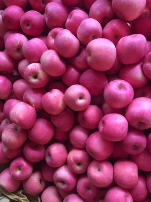 甘肃省陇南市礼县红富士苹果 70mm以上 片红 纸袋