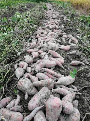 广西壮族自治区贺州市钟山县白心红薯 1.5斤以上 红皮