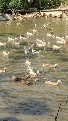 福建省福州市连江县水鸭 2-3斤 母 半圈养半散养