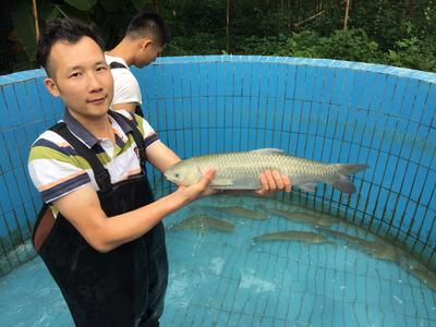 广西壮族自治区贵港市桂平市长江草鱼 人工养殖 1.5-3公斤