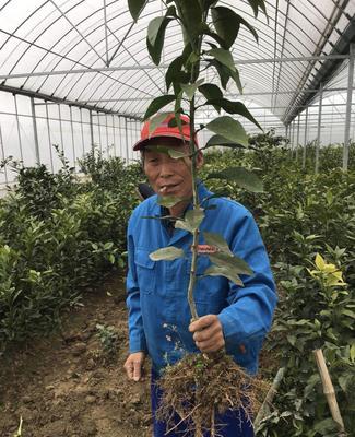 这是一张关于红美人柑橘苗 的产品图片