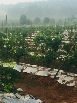 这是一张关于金秋砂糖桔苗 0.5~1米 嫁接苗的产品图片