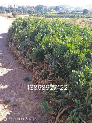 这是一张关于杨梅树的产品图片