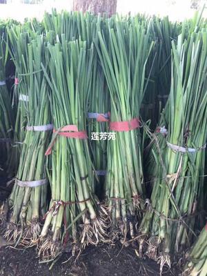 山东省济宁市微山县小香蒲 野生香蒲种苗厂家