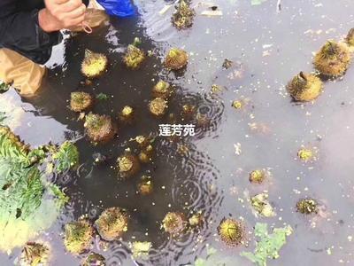 山东省济宁市微山县芡实苗 种子