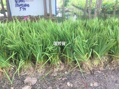这是一张关于黄菖蒲种子 优质黄菖蒲种苗批发厂的产品图片