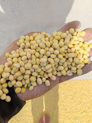 安徽省宿州市埇桥区有机黄豆 生大豆 1等品