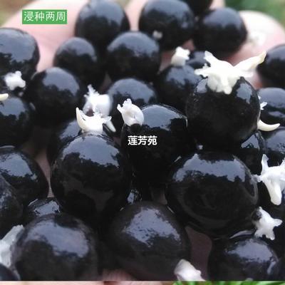 山东省济宁市微山县芡实苗 种苗