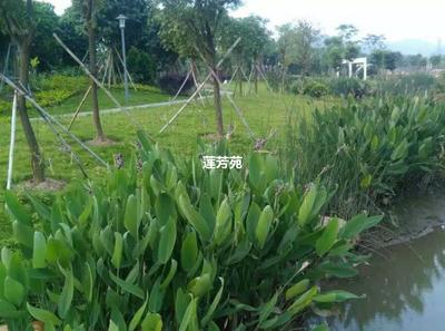 山东省济宁市微山县再力花