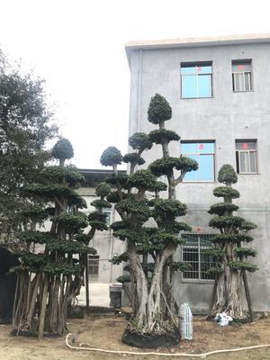 福建省漳州市漳浦县 小叶榕 一手货源