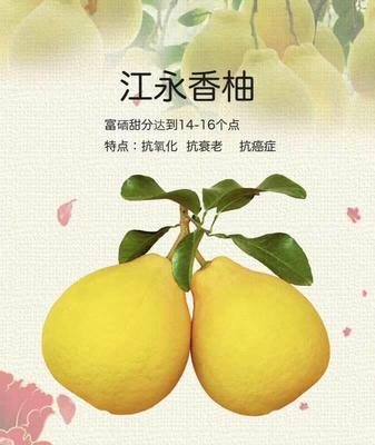 湖南省永州市江永县江永香柚 三十年老树沙田柚