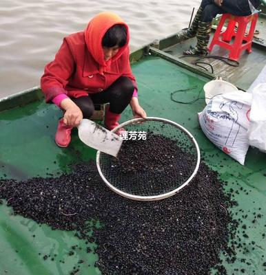 山东省济宁市微山县芡实苗 种子 优质高产