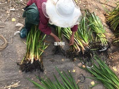 这是一张关于水菖蒲 优质水菖蒲种苗的产品图片