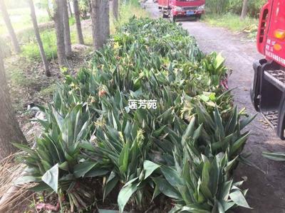 山东省济宁市微山县紫叶美人蕉 4~6cm 0.5~1米 水生美人蕉苗批发