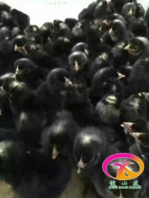 这是一张关于芦花鸡苗 芦花鸡公苗大量供应中的产品图片
