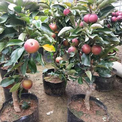 这是一张关于矮化红富士苹果苗 1~1.5米的产品图片