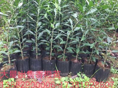 四川省成都市简阳市香橙苗 移栽苗 1~1.5米