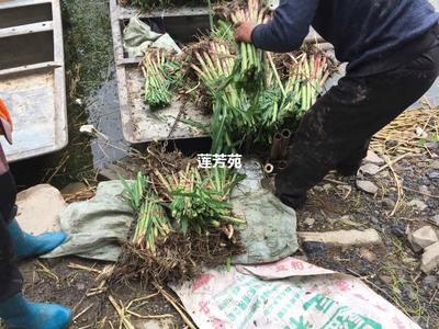 山东省济宁市微山县芦竹 花叶种苗