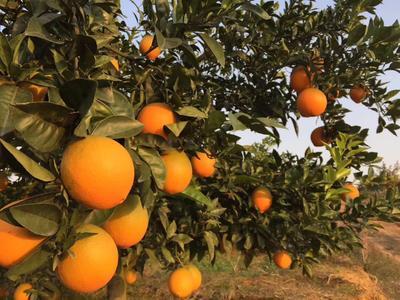 这是一张关于纽荷尔脐橙 8两以上 80-85mm的产品图片
