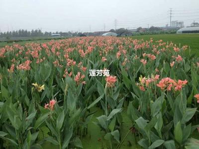 山东省济宁市微山县大花美人蕉 10~12cm 0.5~1米